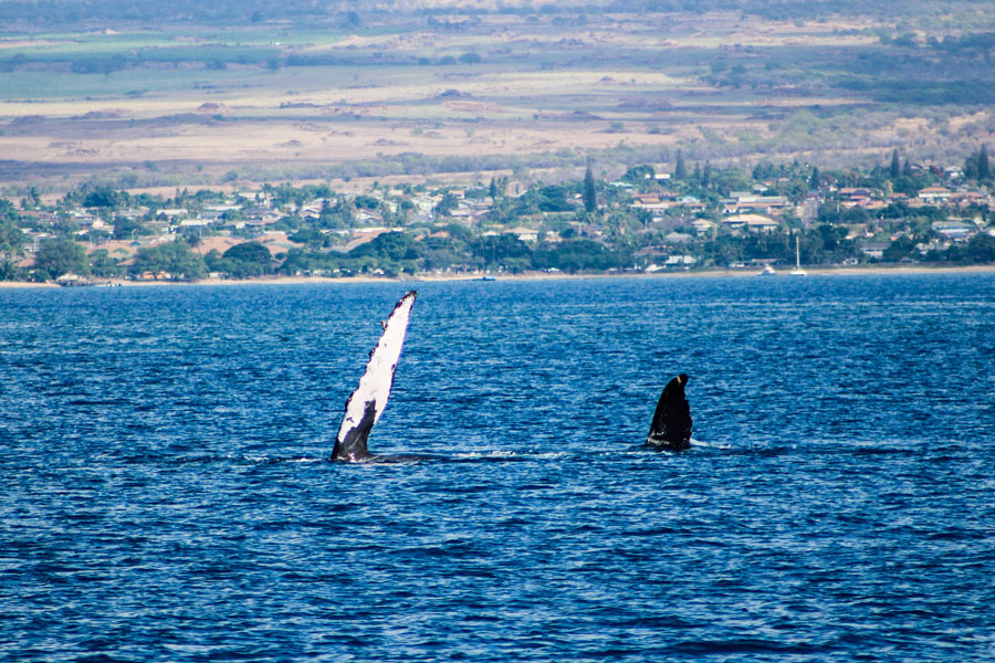 Whale Watching - Maui - Hawaii - ipackedmybackpack.de - Reiseblog
