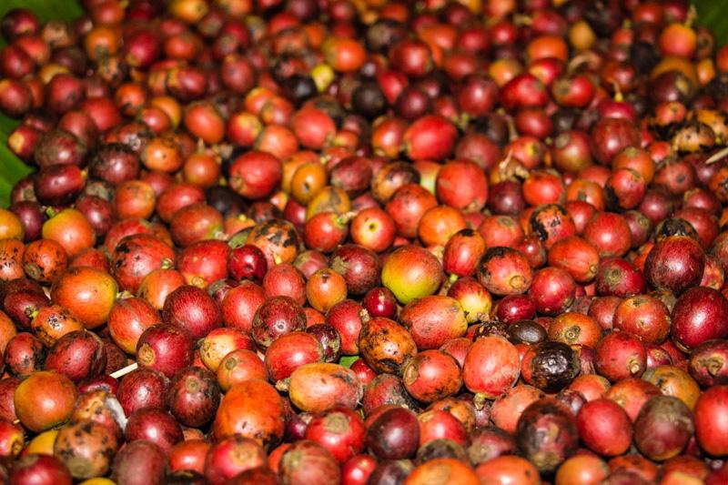 Kaffee – São Tomé und Príncipe – Reiseblog Ipackedmybackpack.de